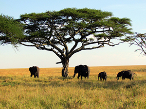 Elephants in Tanzania, Africa at Serengeti National Park